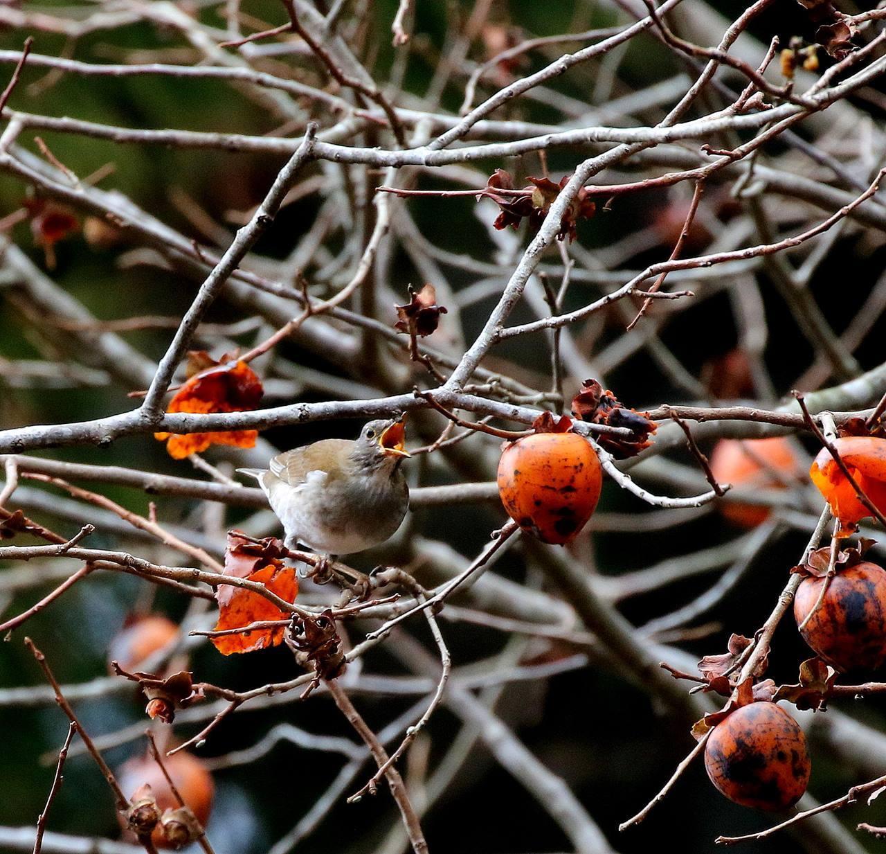 山の柿は野鳥のレストラン(その1)・・・_c0213607_22453105.jpg