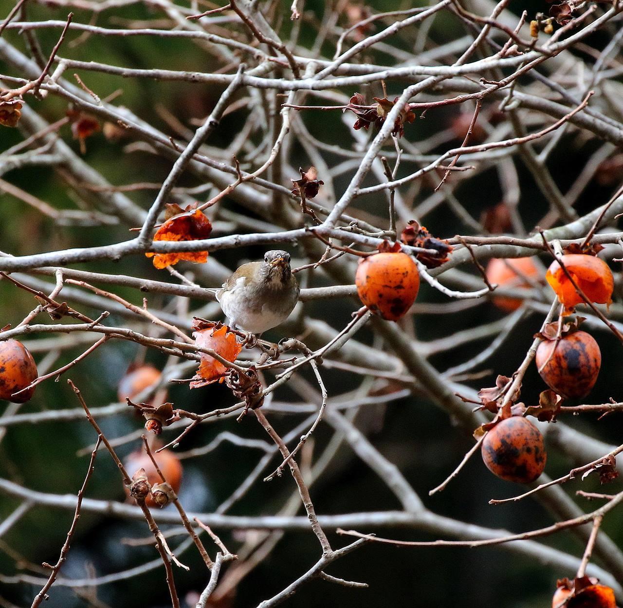 山の柿は野鳥のレストラン(その1)・・・_c0213607_22453407.jpg