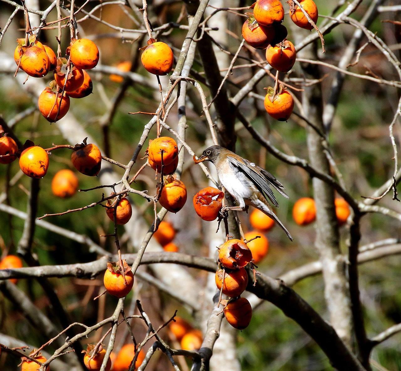 山の柿は野鳥のレストラン(その1)・・・_c0213607_22453822.jpg