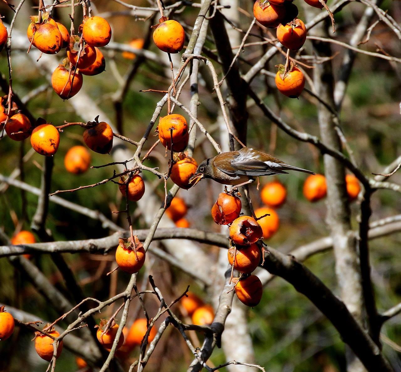 山の柿は野鳥のレストラン(その1)・・・_c0213607_22460691.jpg