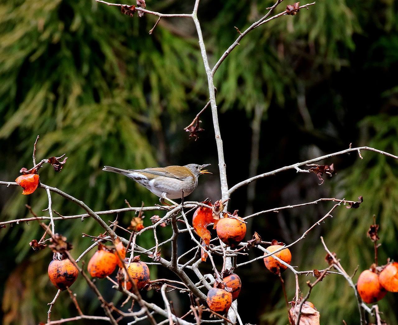 山の柿は野鳥のレストラン(その1)・・・_c0213607_22461184.jpg