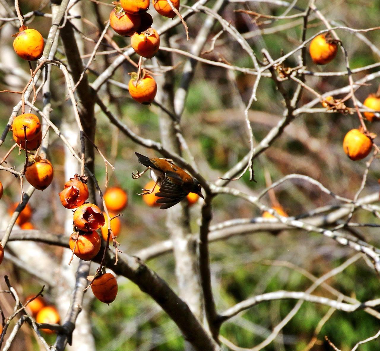 山の柿は野鳥のレストラン(その1)・・・_c0213607_22461504.jpg