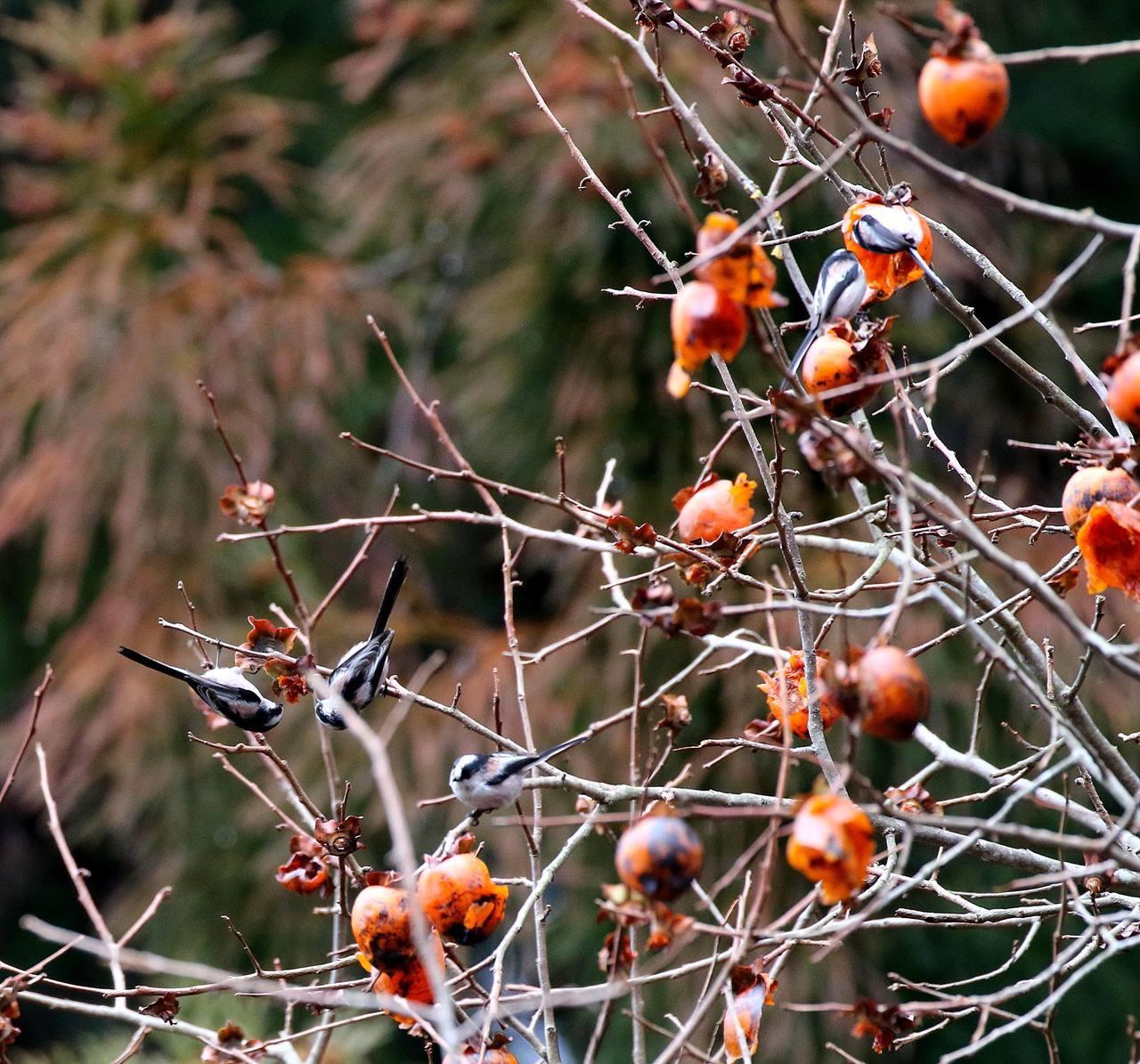 山の柿は野鳥のレストラン(その1)・・・_c0213607_22471417.jpg