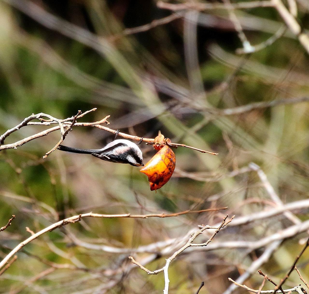 山の柿は野鳥のレストラン(その1)・・・_c0213607_22471881.jpg