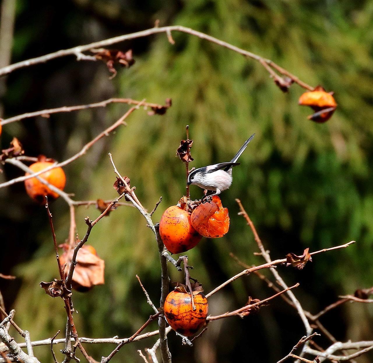 山の柿は野鳥のレストラン(その1)・・・_c0213607_22472177.jpg