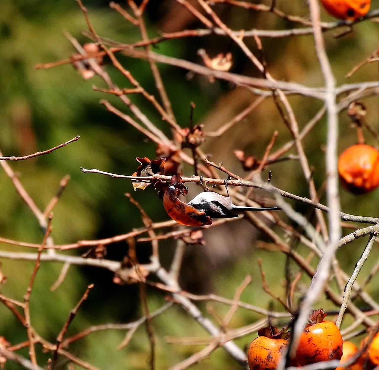 山の柿は野鳥のレストラン(その1)・・・_c0213607_22472583.jpg
