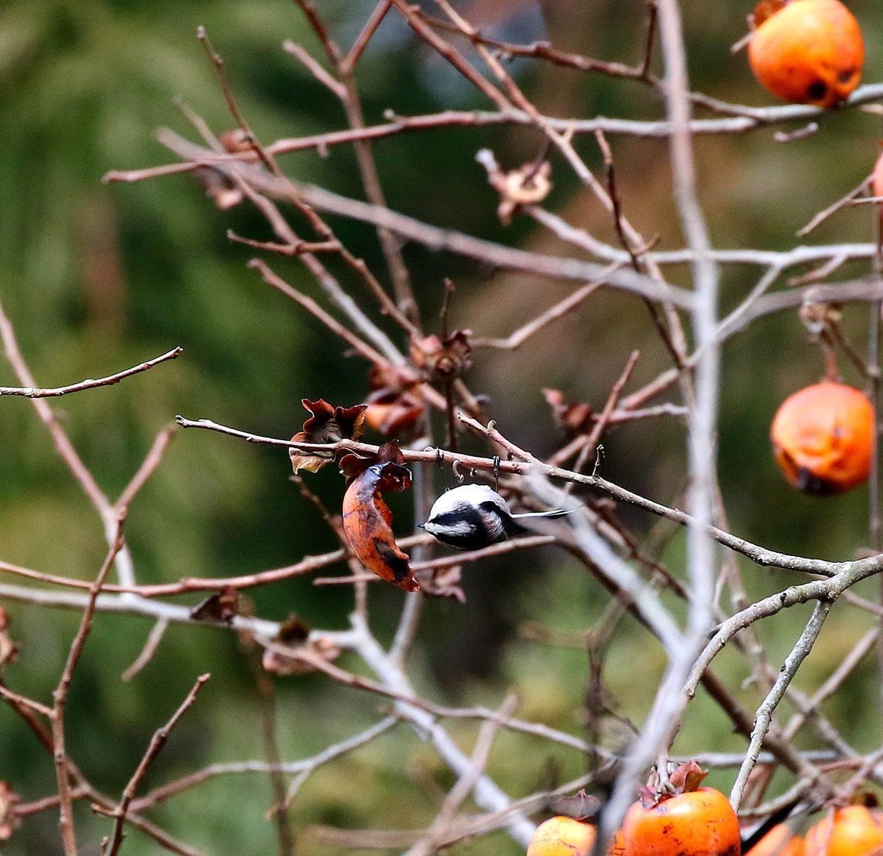 山の柿は野鳥のレストラン(その1)・・・_c0213607_22472938.jpg