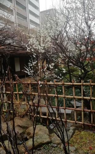 梅が咲いています。_b0020130_11294677.jpg