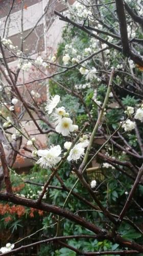 梅が咲いています。_b0020130_11312935.jpg
