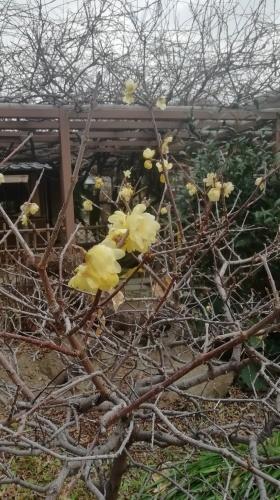 梅が咲いています。_b0020130_11345763.jpg