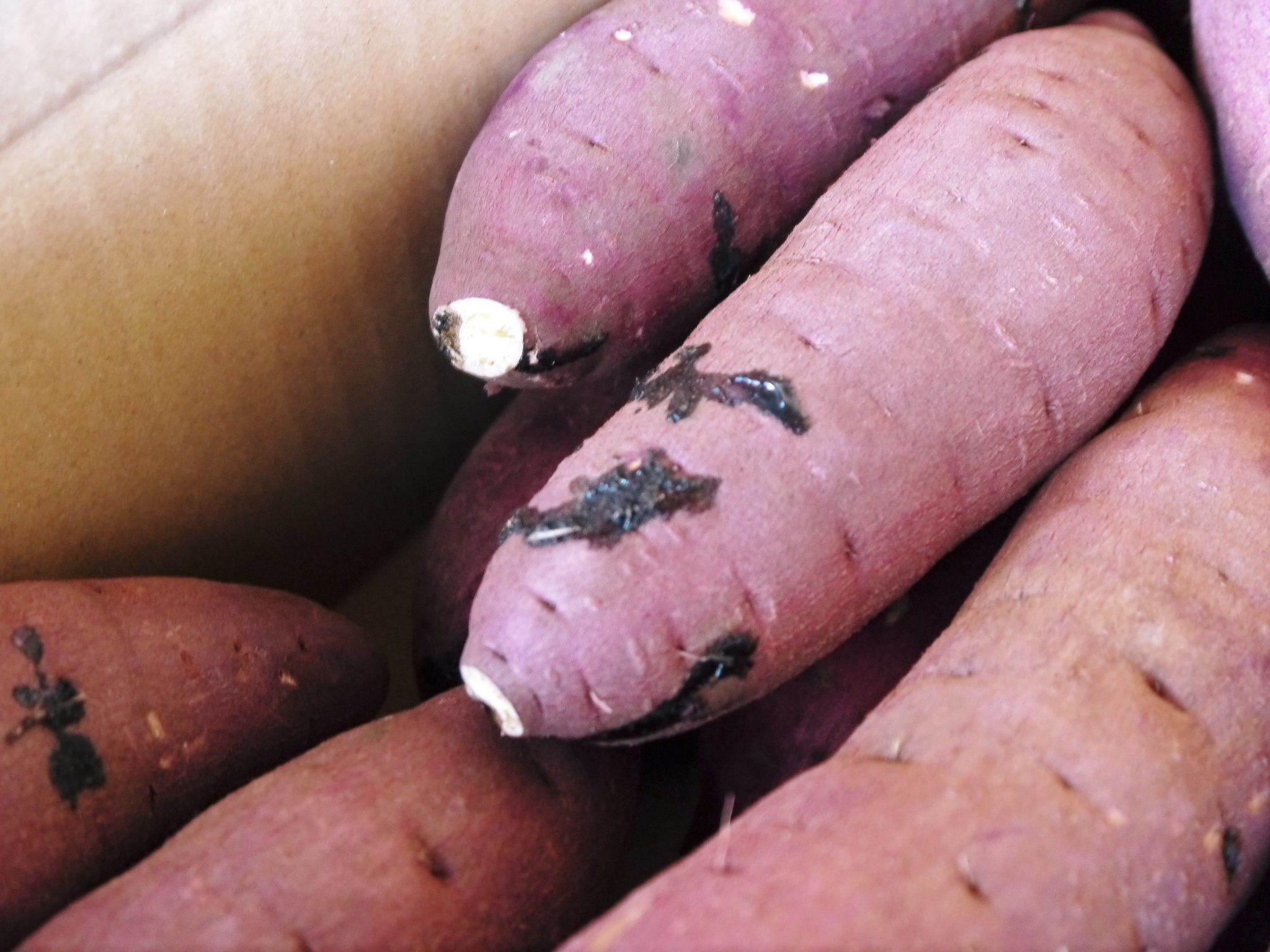 熊本産大津甘藷『からいも(サツマイモ)』の販売に向け、生産農家を現地取材(後編)_a0254656_17192276.jpg