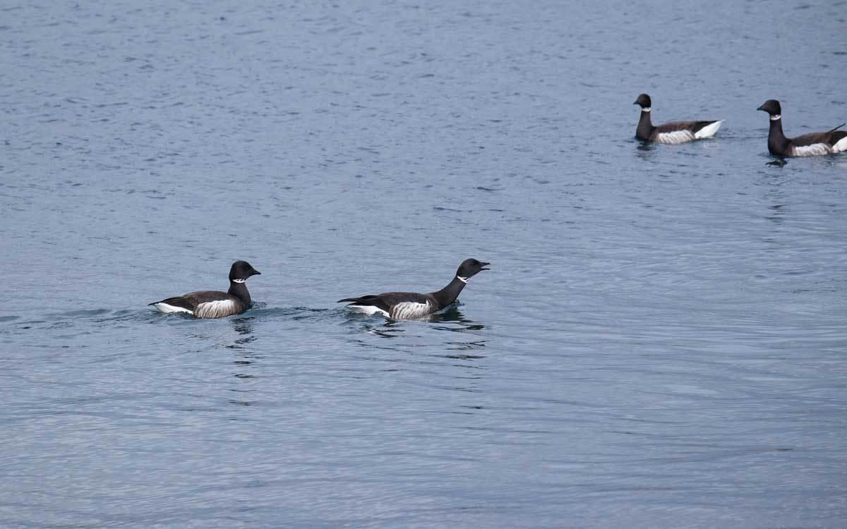 水鳥を求めて漁港巡り(2)_e0220159_17562012.jpg