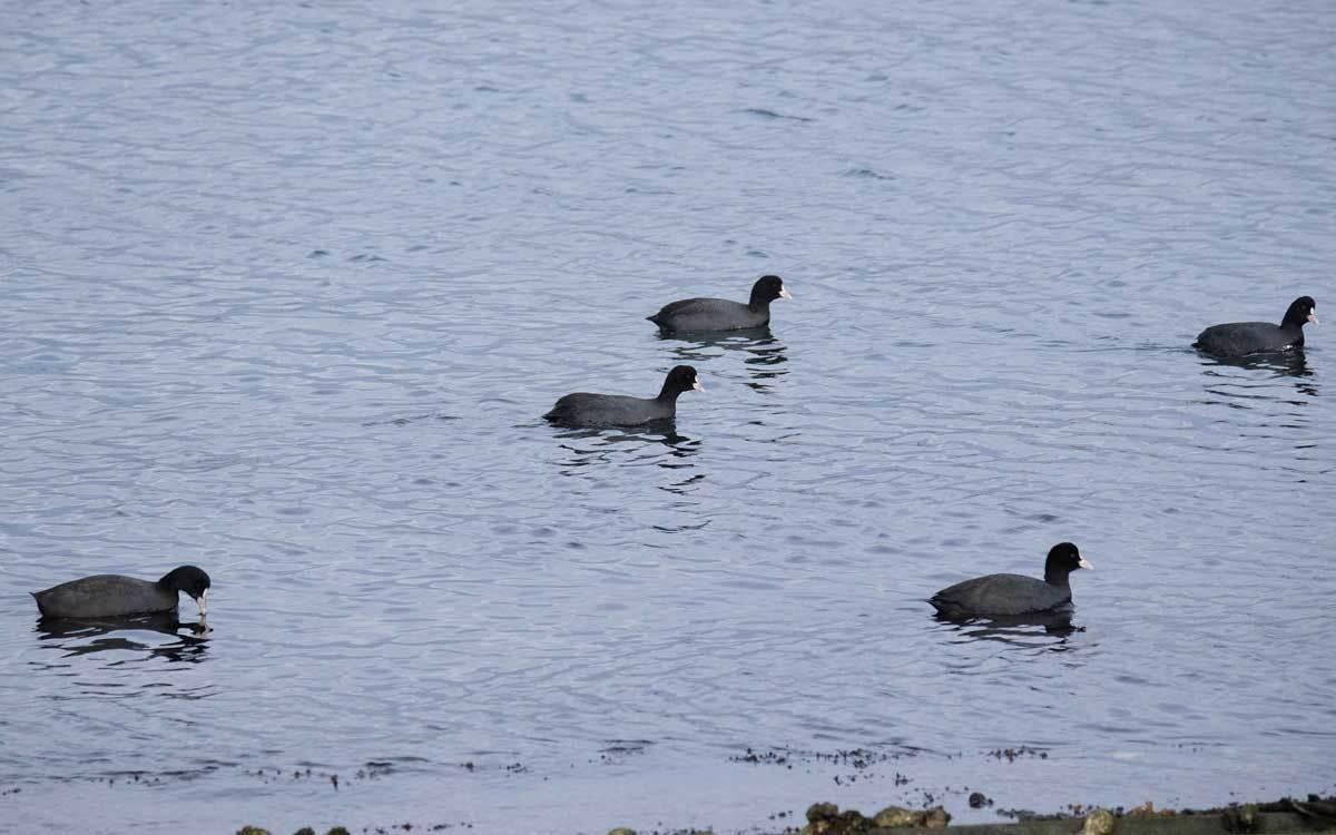 水鳥を求めて漁港巡り(2)_e0220159_17570097.jpg