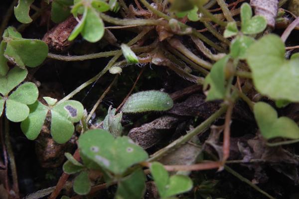 ヤマトシジミ越冬幼虫 -2-_e0167571_2253782.jpg