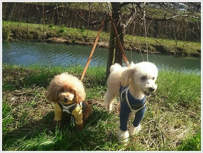 犬にも似合う色ってあるのかな~、さくらの今日の洋服、顔が優しい、可愛い、とっても映えるね( *´艸`)クスクス_b0175688_20003603.jpg