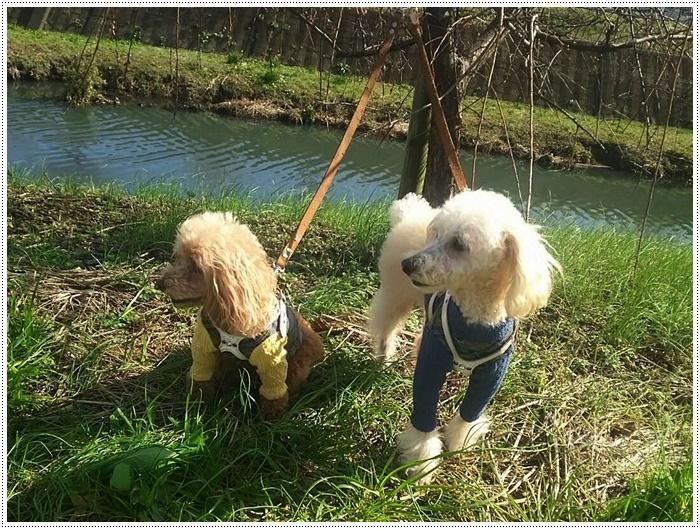 犬にも似合う色ってあるのかな~、さくらの今日の洋服、顔が優しい、可愛い、とっても映えるね( *´艸`)クスクス_b0175688_20004027.jpg