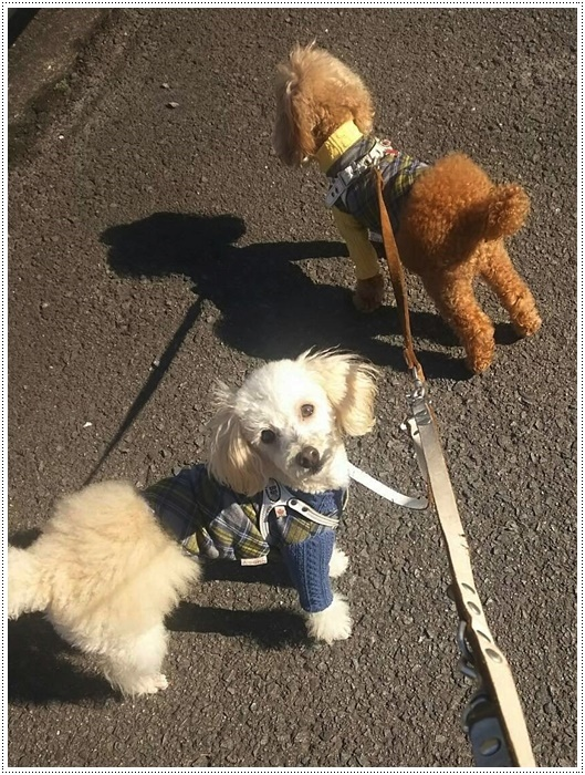 犬にも似合う色ってあるのかな~、さくらの今日の洋服、顔が優しい、可愛い、とっても映えるね( *´艸`)クスクス_b0175688_20004498.jpg