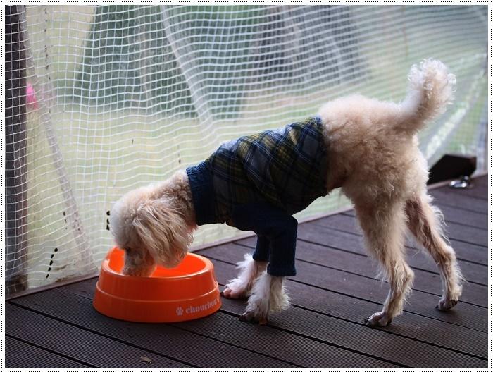 犬にも似合う色ってあるのかな~、さくらの今日の洋服、顔が優しい、可愛い、とっても映えるね( *´艸`)クスクス_b0175688_20095887.jpg