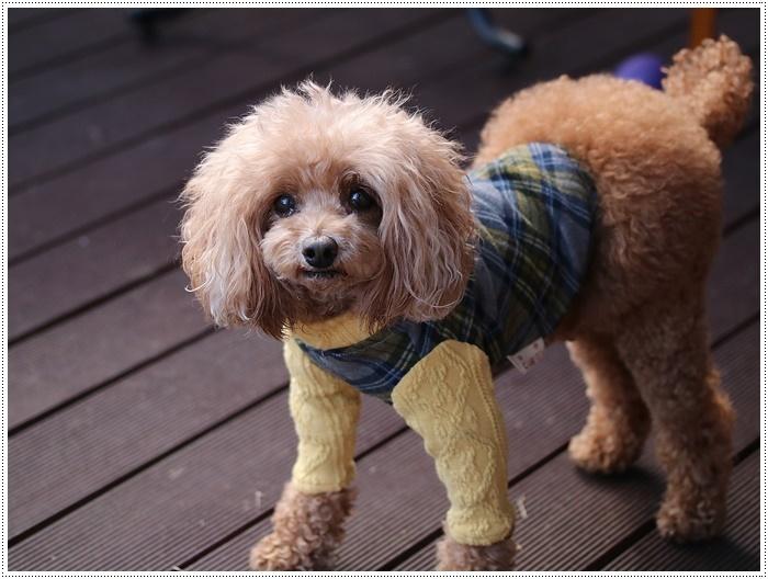 犬にも似合う色ってあるのかな~、さくらの今日の洋服、顔が優しい、可愛い、とっても映えるね( *´艸`)クスクス_b0175688_20100912.jpg