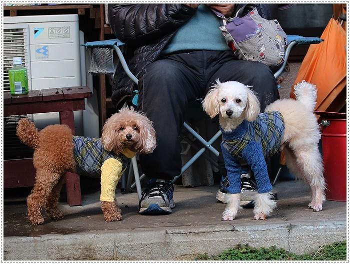 犬にも似合う色ってあるのかな~、さくらの今日の洋服、顔が優しい、可愛い、とっても映えるね( *´艸`)クスクス_b0175688_20101647.jpg