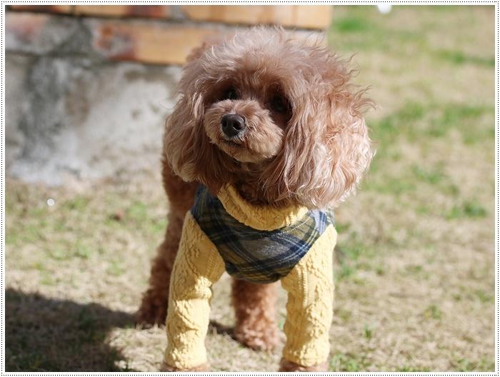犬にも似合う色ってあるのかな~、さくらの今日の洋服、顔が優しい、可愛い、とっても映えるね( *´艸`)クスクス_b0175688_20102951.jpg