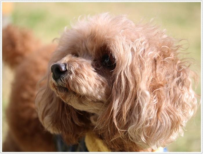 犬にも似合う色ってあるのかな~、さくらの今日の洋服、顔が優しい、可愛い、とっても映えるね( *´艸`)クスクス_b0175688_20103574.jpg