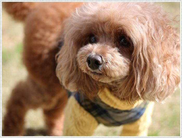 犬にも似合う色ってあるのかな~、さくらの今日の洋服、顔が優しい、可愛い、とっても映えるね( *´艸`)クスクス_b0175688_20103821.jpg