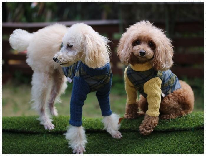 犬にも似合う色ってあるのかな~、さくらの今日の洋服、顔が優しい、可愛い、とっても映えるね( *´艸`)クスクス_b0175688_20104597.jpg