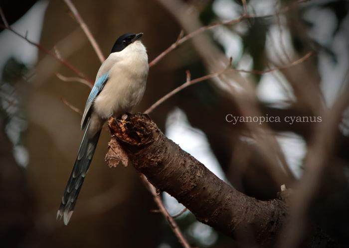 オナガ: Azure-winged Magpie_b0249597_16423892.jpg