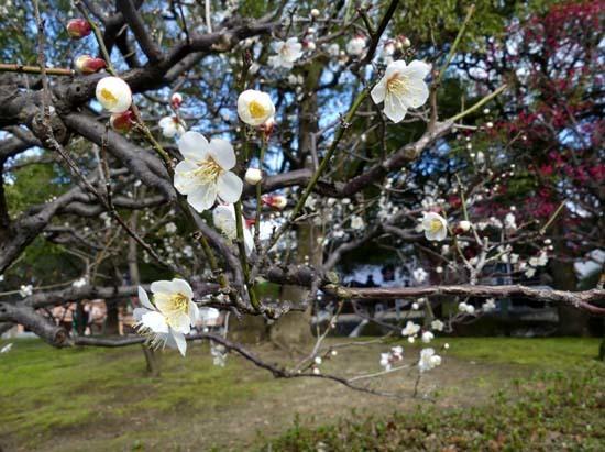 梅の開花が早い 智積院_e0048413_20362482.jpg