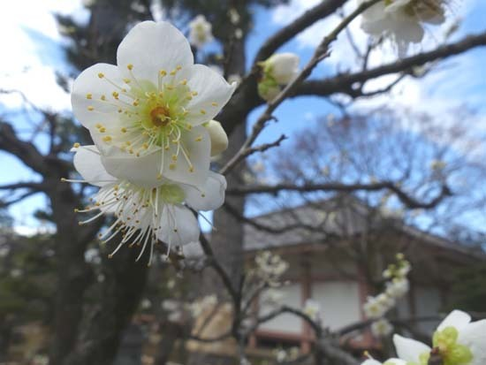 梅の開花が早い 智積院_e0048413_20363398.jpg