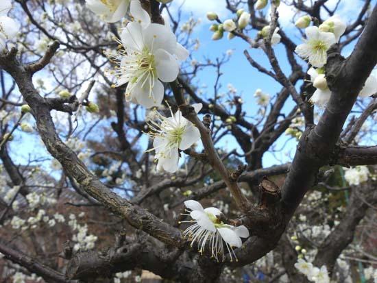 梅の開花が早い 智積院_e0048413_20365357.jpg