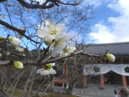 梅の開花が早い 智積院_e0048413_20365866.jpg