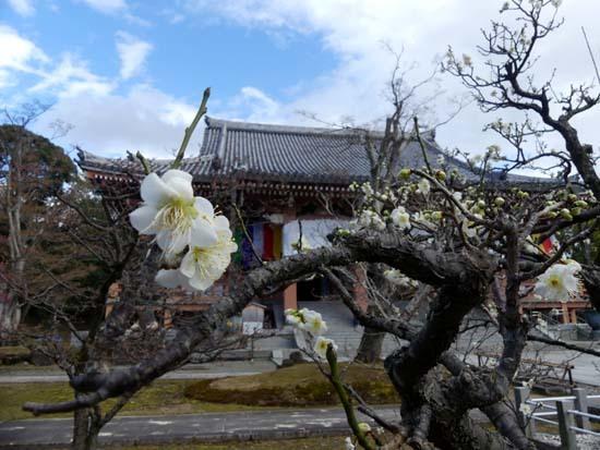 梅の開花が早い 智積院_e0048413_20370362.jpg