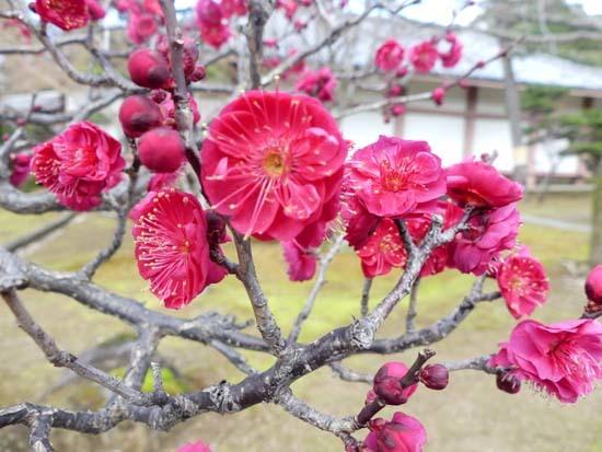 梅の開花が早い 智積院_e0048413_20371705.jpg