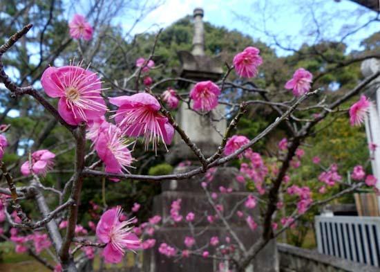 梅の開花が早い 智積院_e0048413_20372011.jpg