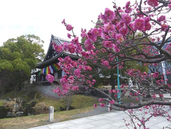 梅の開花が早い 智積院_e0048413_20373024.jpg