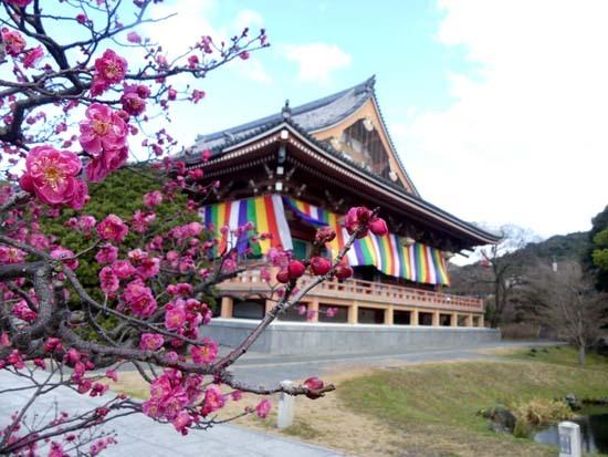 梅の開花が早い 智積院_e0048413_20373520.jpg