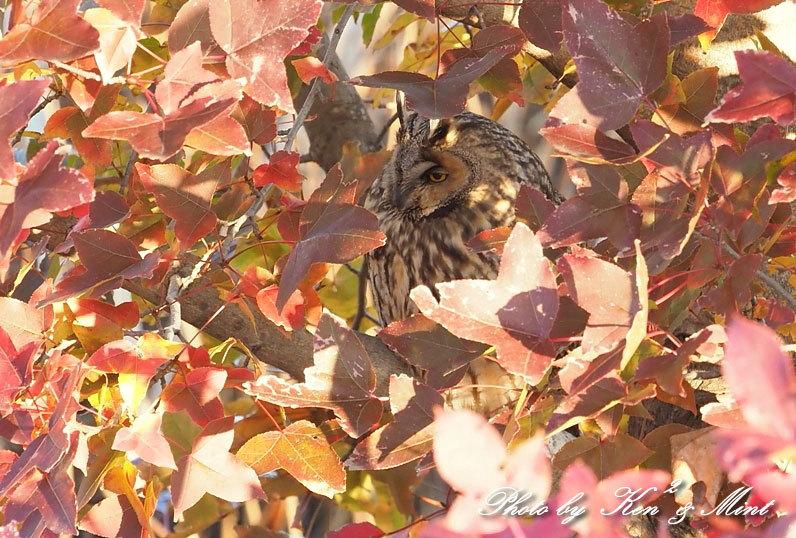 赤い葉っぱの中の「トラフズク」さん♪_e0218518_21112389.jpg