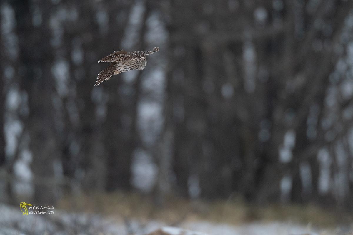 フクロウが飛ぶ時_d0360547_07044946.jpg