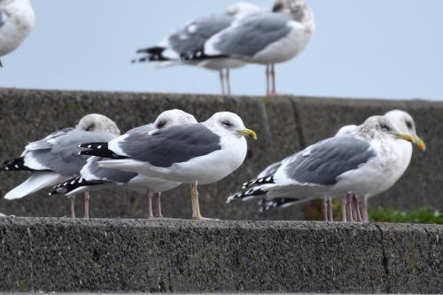 1月27日の淡路島の野鳥_a0153971_10500788.jpg