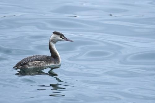1月27日の淡路島の野鳥_a0153971_10503745.jpg