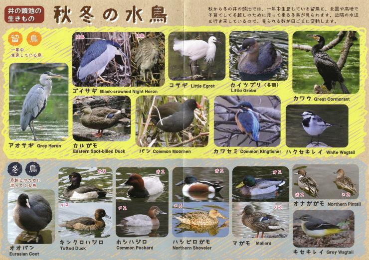 井の頭公園の冬鳥たち_b0074416_10514753.jpg