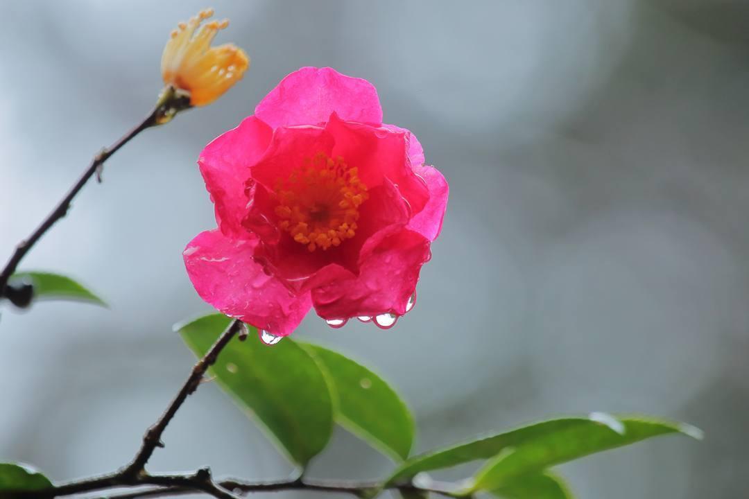 ヤマガラ、冬桜_e0403850_20291843.jpg
