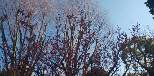 山田パンダの朝梅、紅白咲き揃いました。_b0096957_10323236.jpg