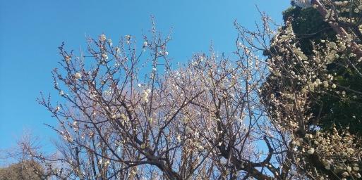 山田パンダの朝梅、紅白咲き揃いました。_b0096957_10325343.jpg