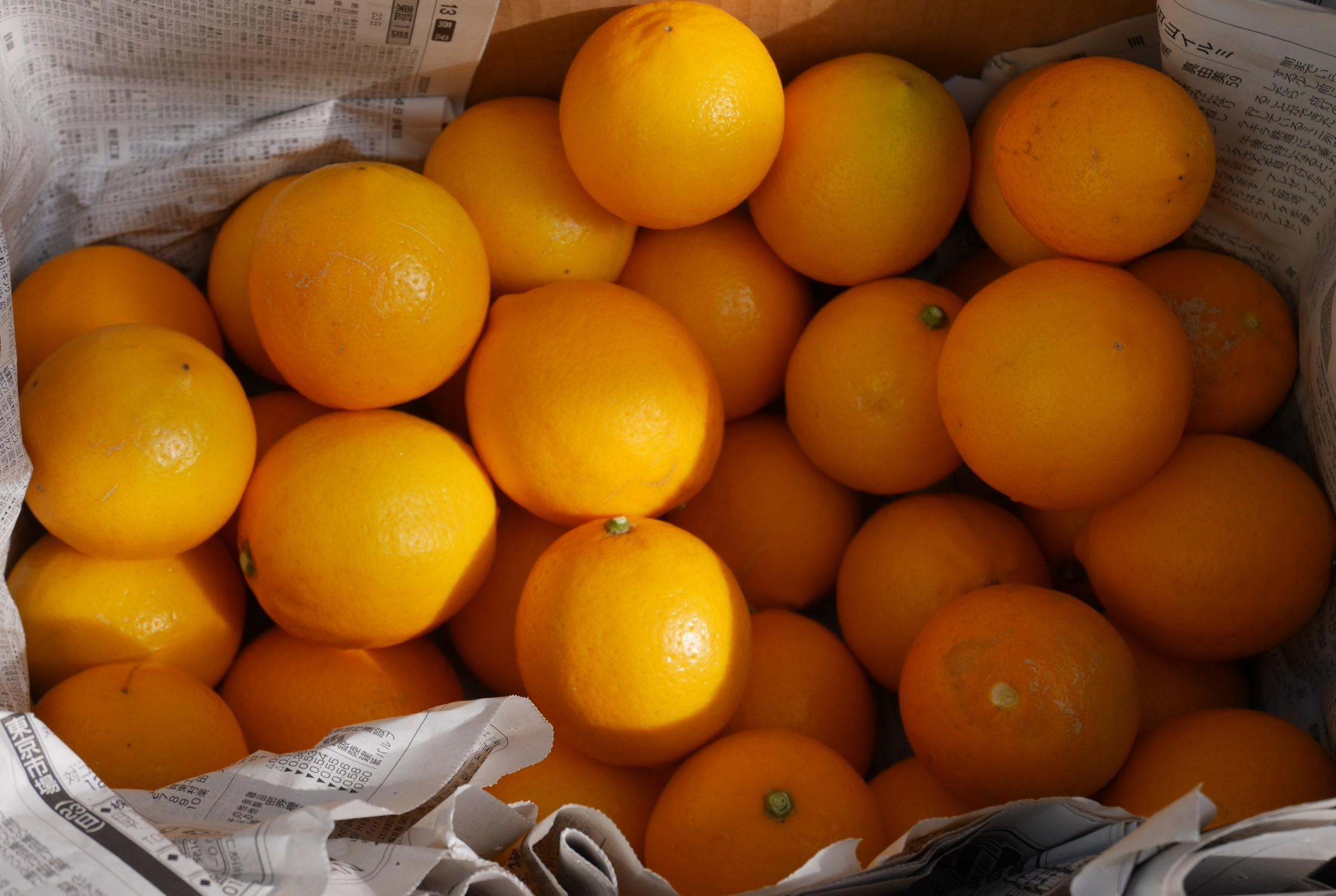手塩にかけて育てた庭のレモン40個全収穫1・29_c0014967_20333001.jpg