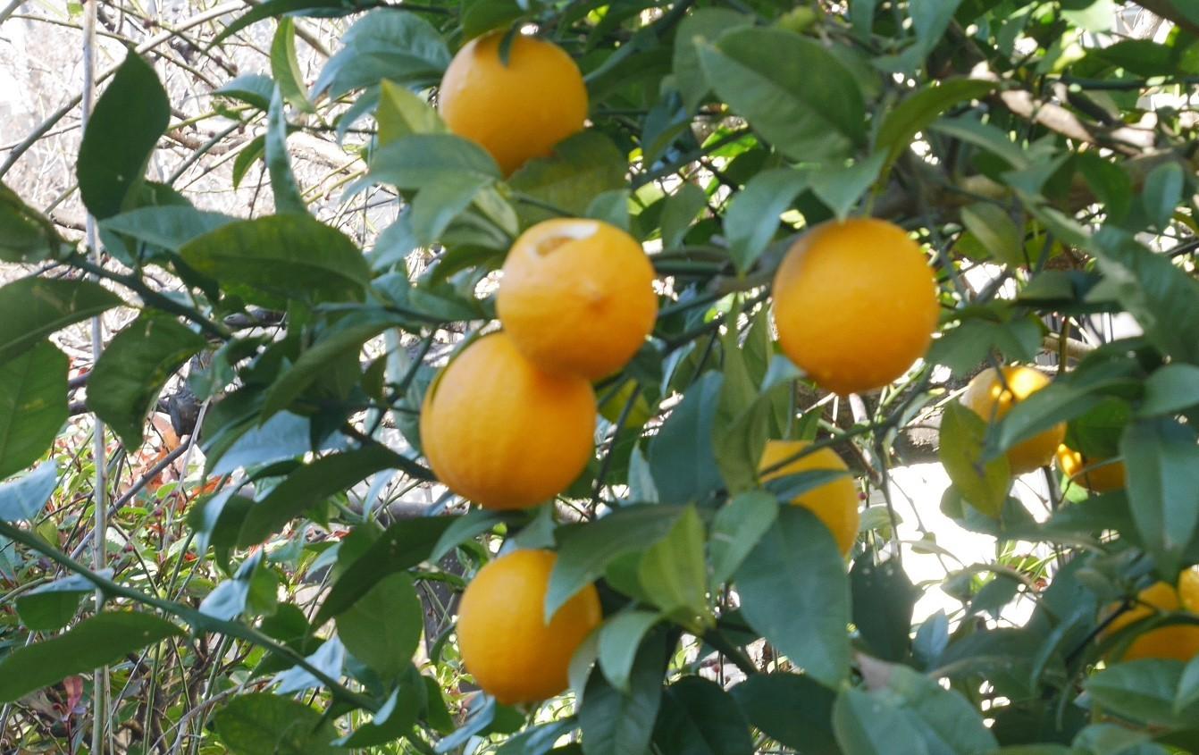 手塩にかけて育てた庭のレモン40個全収穫1・29_c0014967_20460659.jpg