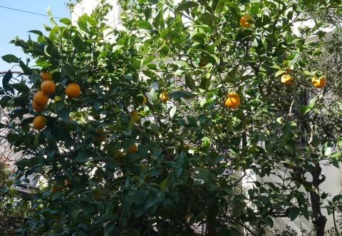 手塩にかけて育てた庭のレモン40個全収穫1・29_c0014967_20472757.jpg