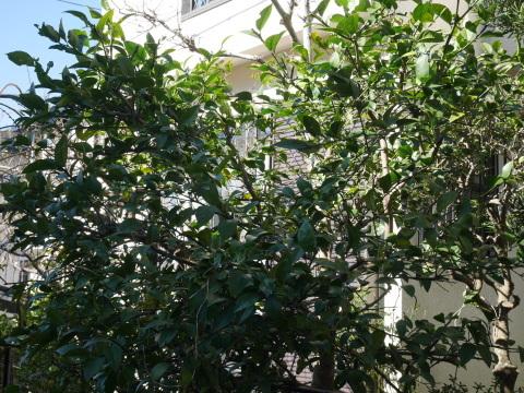 手塩にかけて育てた庭のレモン40個全収穫1・29_c0014967_20483874.jpg